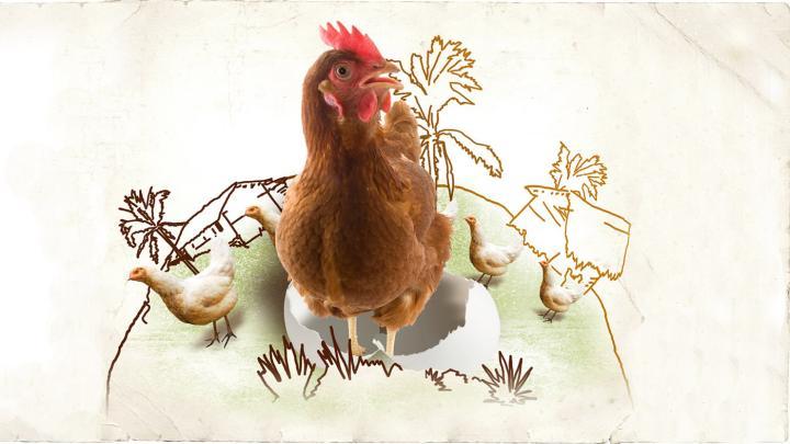 Hühner und Hennen
